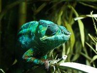 kameleon w terrrarium
