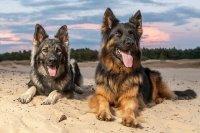 Dwa owczarki niemieckie