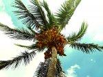 palma kokosowa od dołu